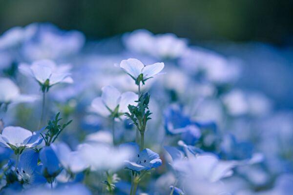青い花の花畑