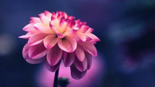 1本のピンクのダリア