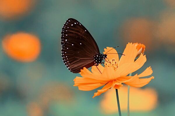 黒い蝶がオレンジの花にとまっている