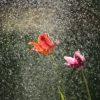 雨に打たれる2本の花